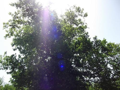 Pütürge Ormaniçi Anıt Ağaç İncelemesi
