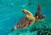 IUCN'den Caretta Caretta ile İlgili Türkiye'ye İyi Haber