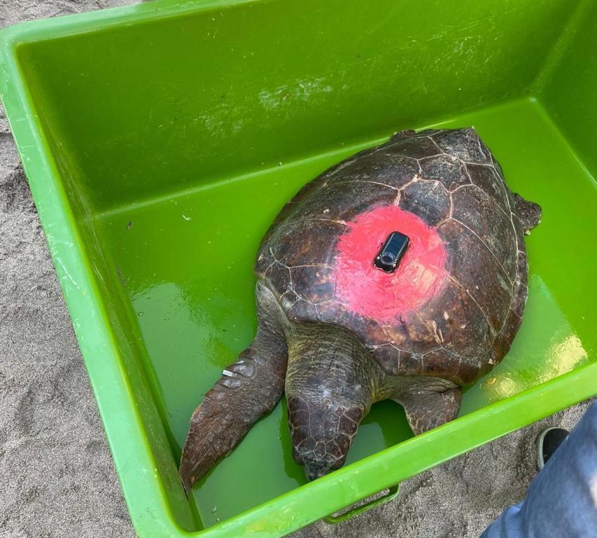 Deniz Kaplumbağaların Uydu Cihazı Takılarak İzlenmesi Projesi