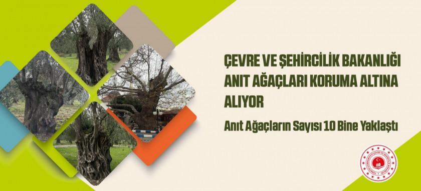 Çevre ve Şehircilik Bakanlığı Anıt Ağaçları Koruma Altına Alıyor