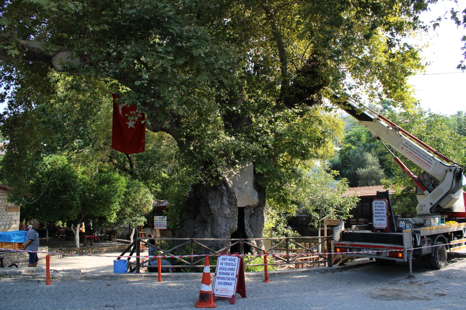 Anıt ağaçların bakım ve restorasyon işlemleri yapıldı
