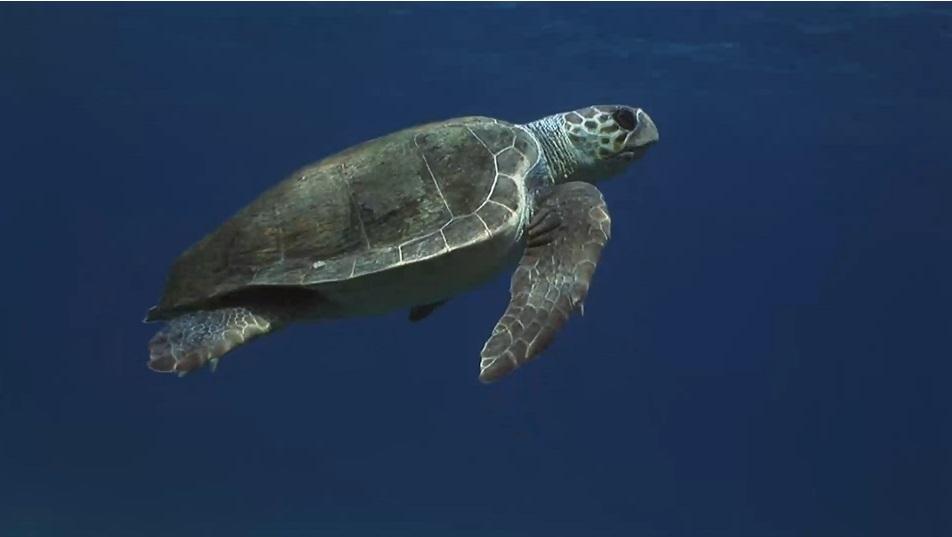 Deniz Kaplumbağası Yıllar Sonra Doğduğu Sahillerde