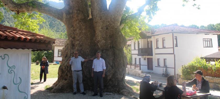Taraklı İlçemizde Yedi Asırlık Çınar Ağacı