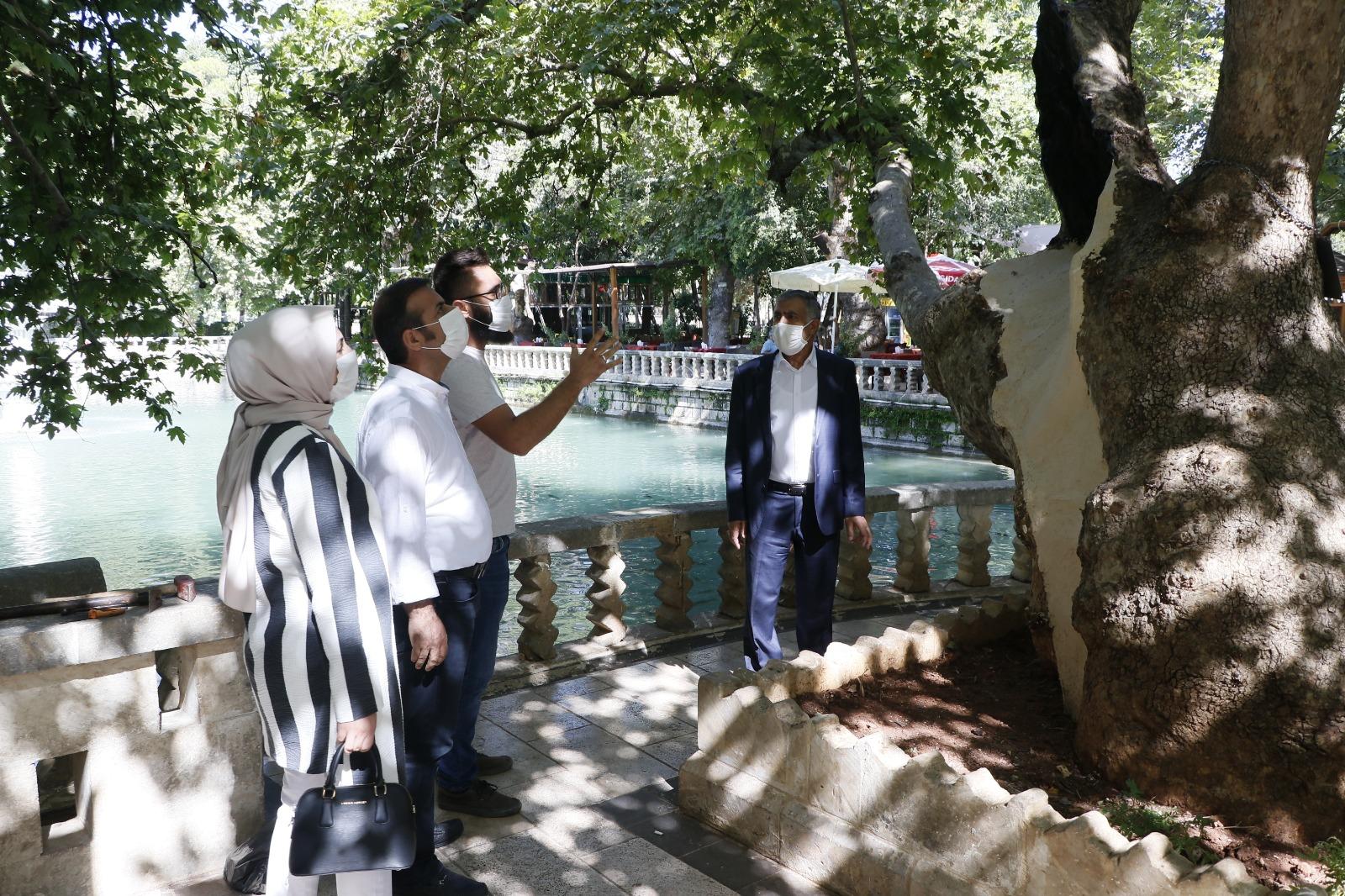 Tarihe  tanıklık eden Anıt Ağaçlara özel bakım çalışmaları devam ediyor
