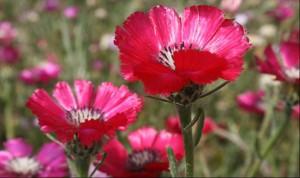 Ankara-Gölbaşı ÖÇKB, Mogan Gölü Sevgi Çiçeğinin popülasyonunun araştırılması, korunması Projesi