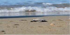 Belek  ÖÇKB Deniz Kaplumbağaları Koruma  ve İzleme Projesi