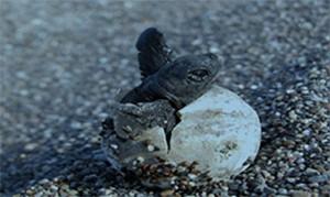 Belek Özel Çevre Koruma Bölgesi Tür ve Habitat İzleme Projesi kapsamında Belek kumsal alanında Deniz kaplumbağaları (Caretta caretta, Chelonia mydas) ve Nil kaplumbağası (Trionyx triunguis) Popülasyonlarının Araştırılması İzlenmesi ve Korunması Projesi