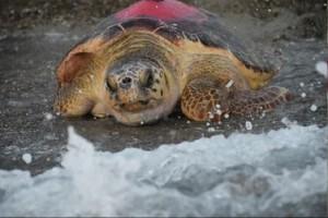 Deniz kaplumbağalarına uydu takip cihazı takılarak izlenmesi projesi