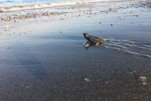Fethiye-Göcek Özel Çevre Koruma Bölgesi Tür ve Habitat İzleme Projesi kapsamında Fethiye-Göcek kumsal alanında Deniz kaplumbağaları (Caretta caretta, Chelonia mydas)) Popülasyonlarının Araştırılması İzlenmesi ve Korunması Projesi