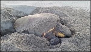 Fethiye-Göcek ÖÇKB Deniz Kaplumbağaları Koruma ve İzleme Projesi