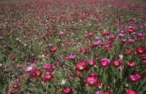 Gölbaşı ÖÇK Bölgesi Sevgi Çiçeği (Centaurea tchihatcheffii) Koruma ve İzleme projesi