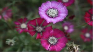Gölbaşı ÖÇKB  Sevgi Çiçeği Koruma ve İzleme Projesi