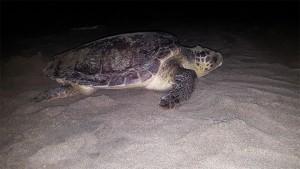 Köyceğiz-Dalyan Özel Çevre Koruma Bölgesi Tür ve Habitat İzleme Projesi kapsamında Köyceğiz-Dalyan kumsal alanında Deniz kaplumbağaları (Caretta caretta, Chelonia mydas)) ve Nil kaplumbağası (Trionyx triunguis) Popülasyonlarının Araştırılması İzlenmesi ve