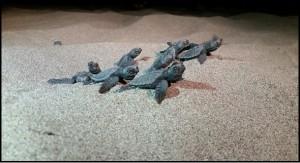 Köyceğiz-Dalyan Özel Çevre Koruma Bölgesi Deniz Kaplumbağaları Koruma ve İzleme Projesi