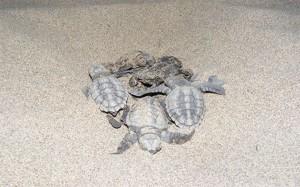 Patara Özel Çevre Koruma Bölgesi Tür ve Habitat İzleme Projesi kapsamında Patara kumsal alanında Deniz kaplumbağaları (Caretta caretta, Chelonia mydas)) ve Nil kaplumbağası (Trionyx triunguis) Popülasyonlarının Araştırılması İzlenmesi ve Korunması Projesi