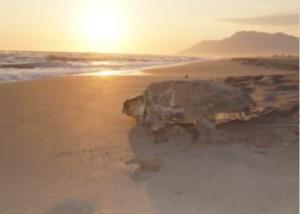 Patara Özel Çevre Koruma Bölgesi Tür ve Habitat İzleme Projesi Kapsamında Patara Kumsal Alanında Deniz Kaplumbağaları ve Nil Kaplumbağası Popülasyonlarının Araştırılması İzlenmesi ve Korunması Projesi