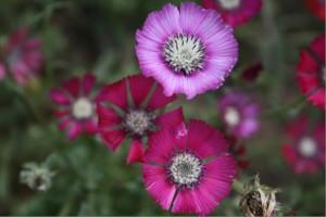 Sevgi Çiçeği Koruma ve İzleme Projesi