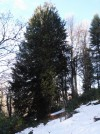 Çevre Ve Şehircilik Bakanlığı Zonguldak'ta 4 Bin 113 Yaşındaki Porsuk Ağacını Tescilledi