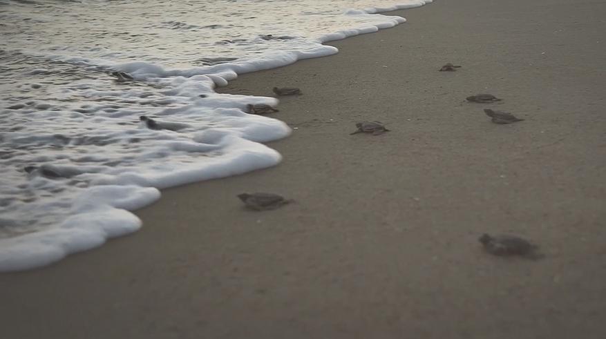 Aramıza Yeni Katılan Deniz Kaplumbağaları